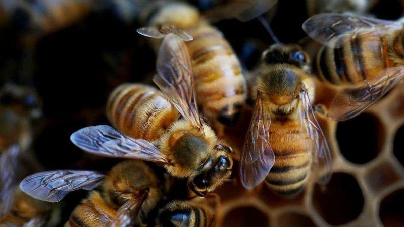 La combinación mortal que está matando a las abejas en todo el mundo